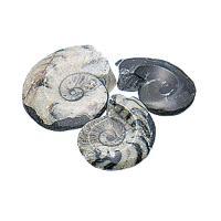 Fossil (Ammolite, Orthoceras)